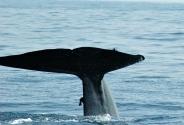 Blue Whale, Sri lanka