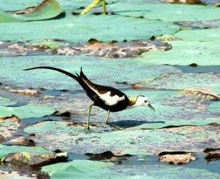 Pheasant-tailed Jacana, Sri Lanka