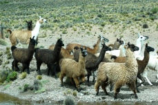 Andean alpaca