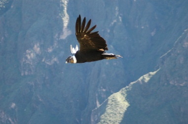 Andean condor, Peru