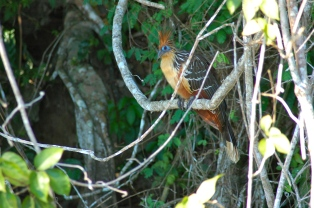 Hoatzin, the Amazon