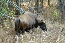Gaur, khana National Park, India