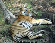 Tiger in Bandhavgarh approached on an elephant
