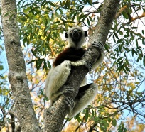 Sifaka, Madagascar