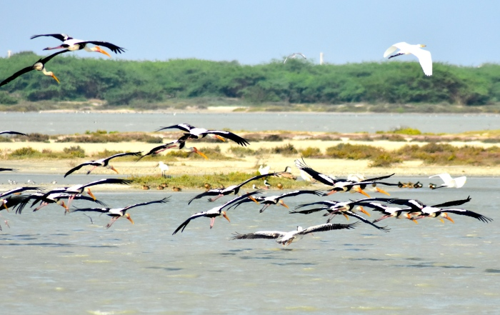 Painted storks at Vankalai