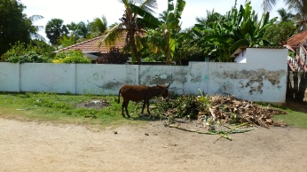 Donkeys roam the streets of Mannar