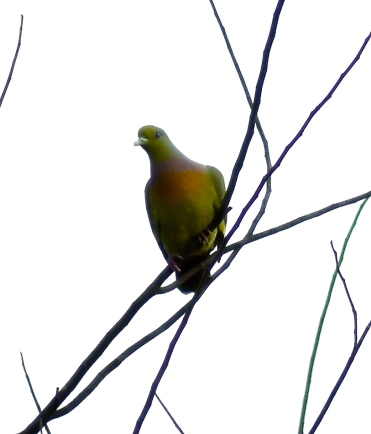 Yellow-breasted green pigeon