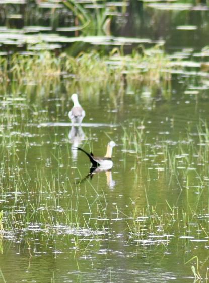 Pheasant-tailed Jakana