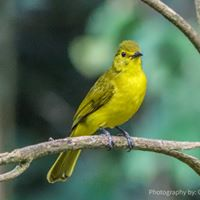 Black headed Yellow Bulbul (Photo by G. Philipiah)