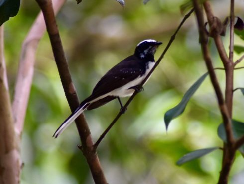 Fantail-flycatcher