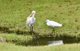 Spoonbill & Egret